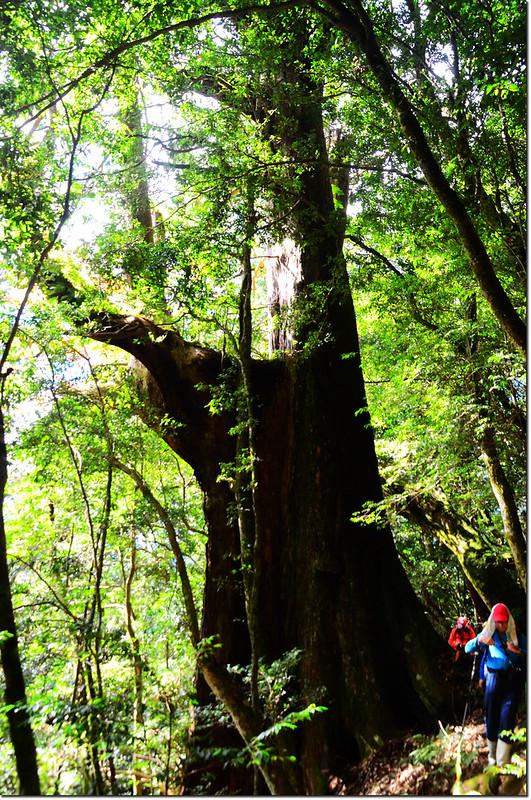 雪白山登山步道旁巨木 4