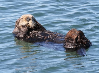 Sea otter, credit Norman S. Smith copy | by Oregon State University