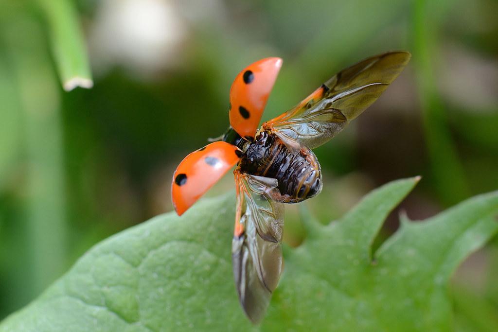 Real Ladybugs Flying