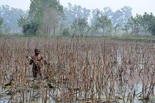 A man picks lotus roots at Keshopur wetland.