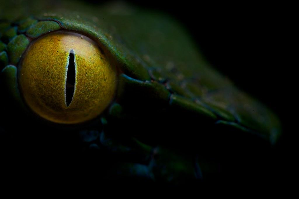 Large eyed pit viper (Trimeresurus macrops)   For stories ...