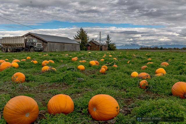 Westham Island Pumpkin Patch- 2