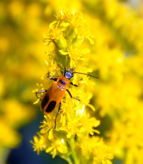 Goldenrod Soldier BeetleGoldenrod Soldier Beetle
