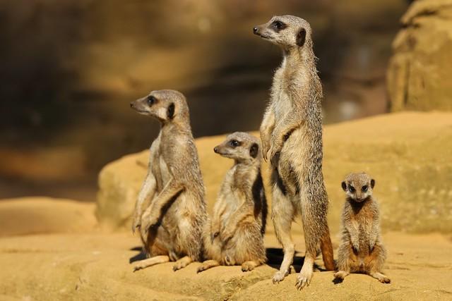 Ronnie Macdonald: Meerkats