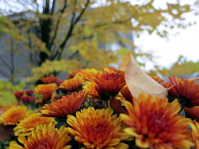 Image Result For Chrysanthemum Flower Colors