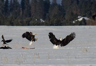 Eagle Fight 1 | by jkmnomads