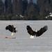 Eagle Fight 1