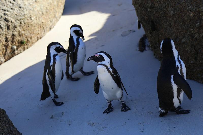Boulders Beach Penguins South Africa