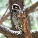 Strickland's Woodpecker