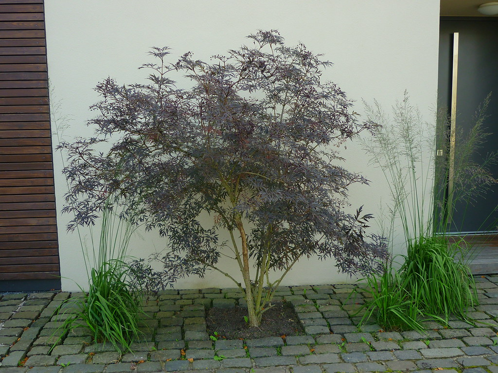 sambucus nigra black lace roter schlitzholunder flickr. Black Bedroom Furniture Sets. Home Design Ideas