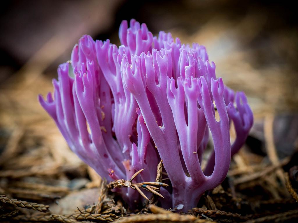 Image result for violet coral pic