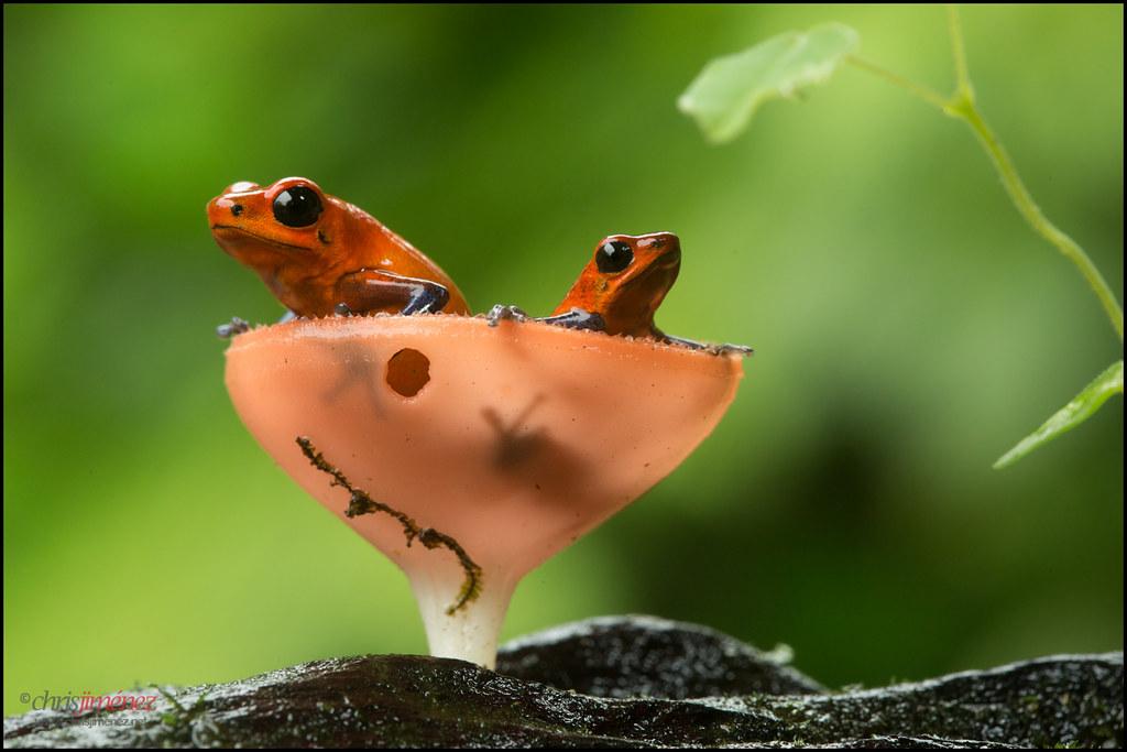 Strawberry Poison Dart Frog Oophaga Pumilio Pair Inside