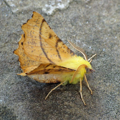 1913 Canary-shouldered Thorn - Ennomos alniaria