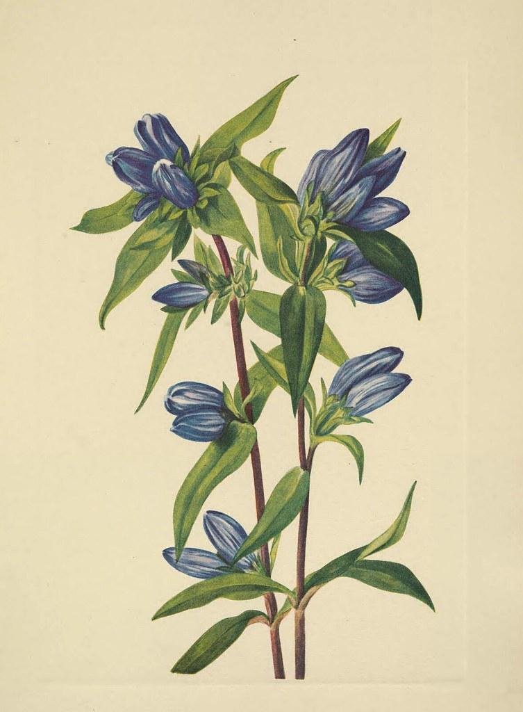 Soapwort Gentian Harvestbells Gentiana Saponaria Walcot