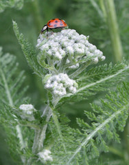 one ladybug on top of a yarrow stalk
