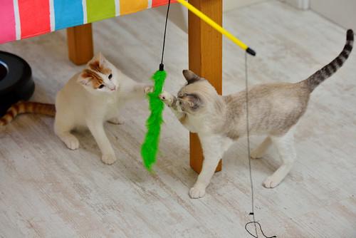 Gary, gatito blanco y naranja cruce Van Turco esterilizado muy activo nacido en Julio´16, en adopción. Valencia. ADOPTADO. 31559438412_bb17a7521c