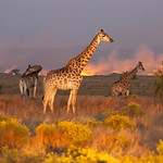 Giraffes at night