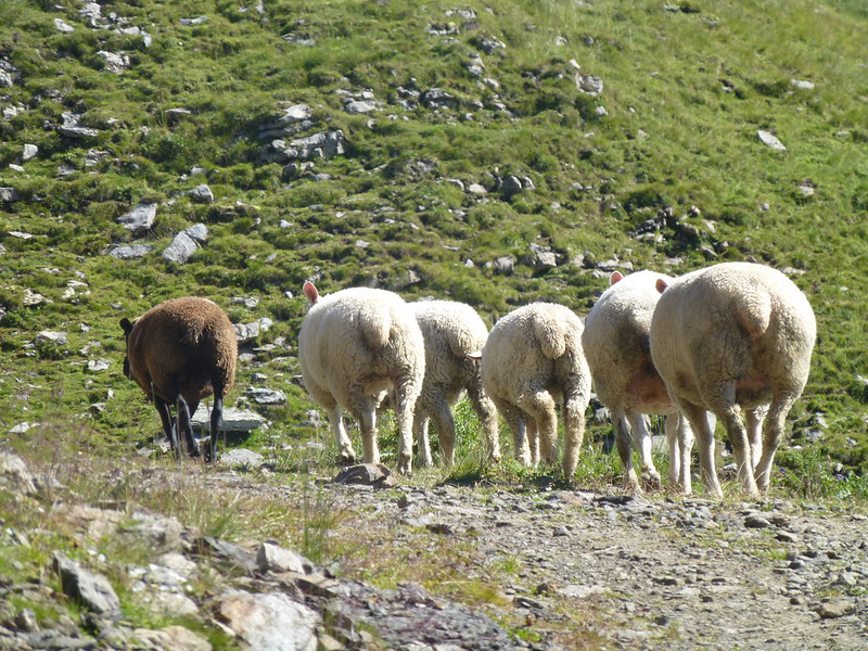 Sheep in the wilderness