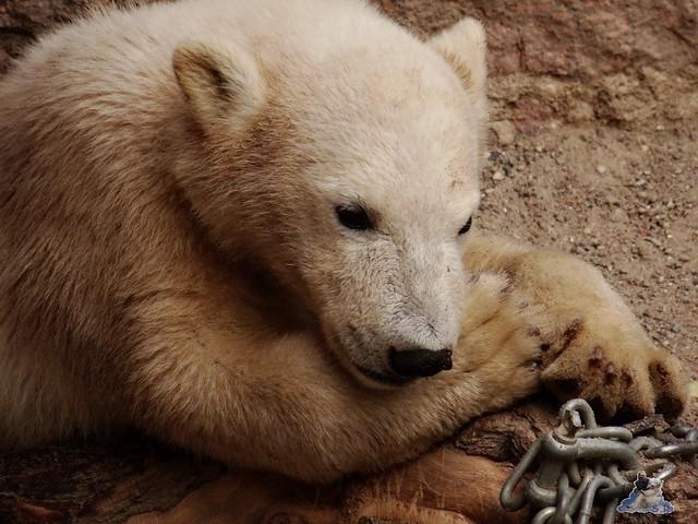 Eisbär Fiete im Zoo Rostock 14.06.2015  27