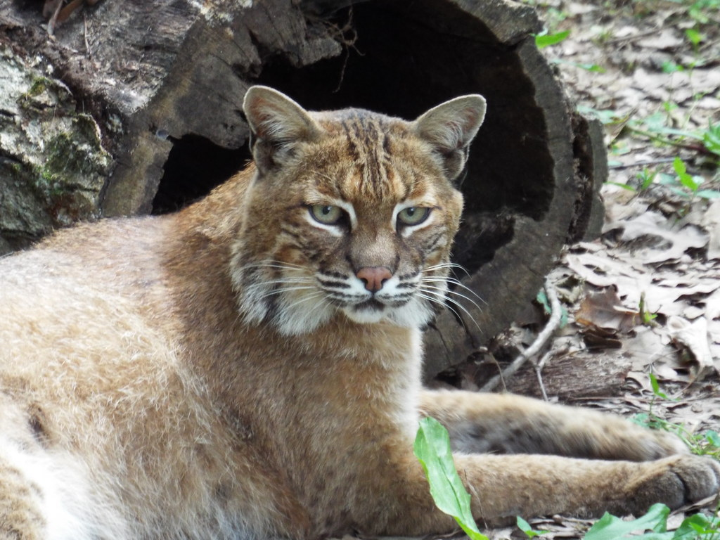 Bobcat  Taken At Woodlands Nature Station In Land Between