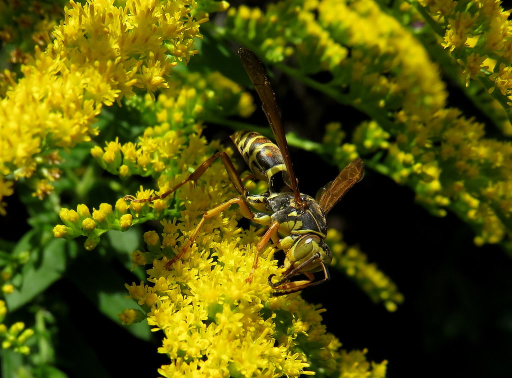 Hornet Feeding on Goldenrod Flowers taken with a Canon SX700 HS IMG_2667
