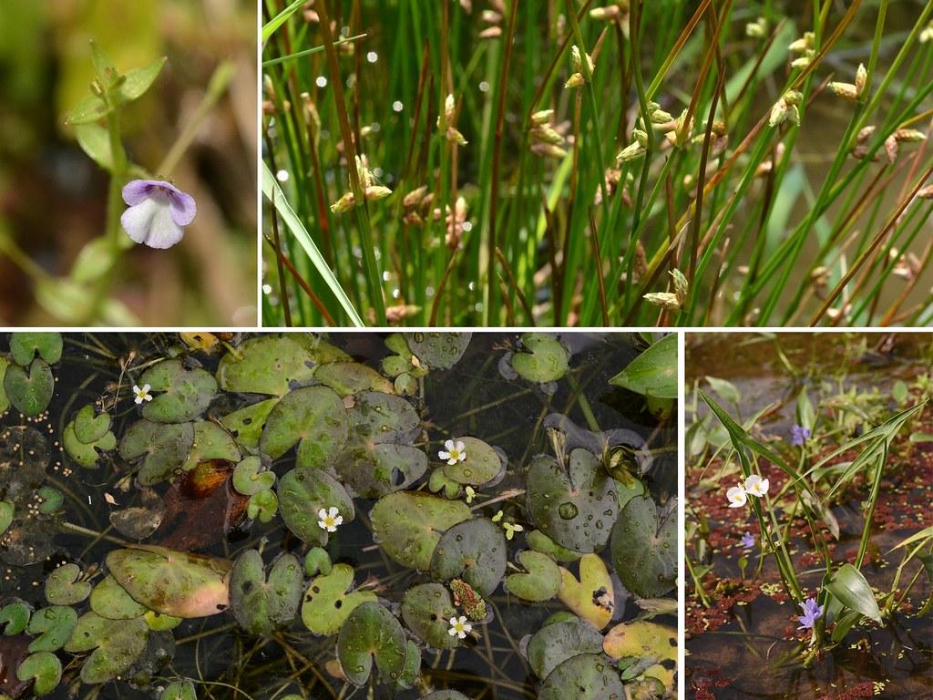 水梯田內可發現多樣的水生植物。左上: 毛澤番椒;左下: 小莕菜;右上: 螢藺;右下: 野慈菇與鴨舌草。