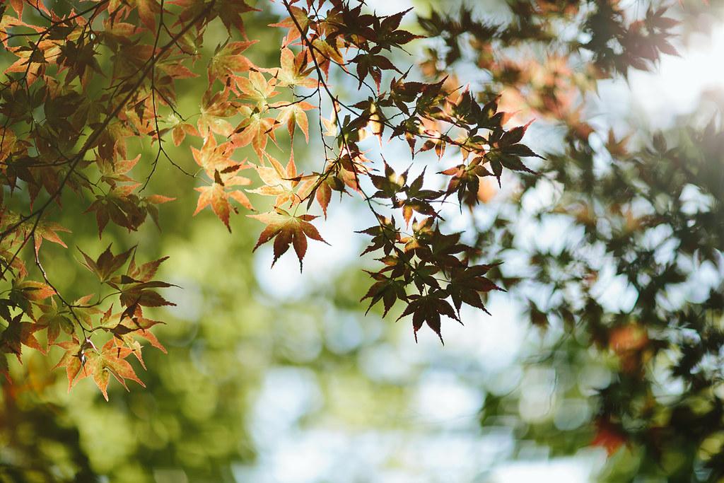 230/365 Maple