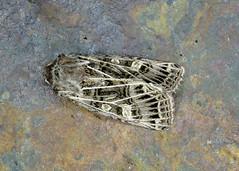 73.253 Feathered Gothic - Tholera decimalis