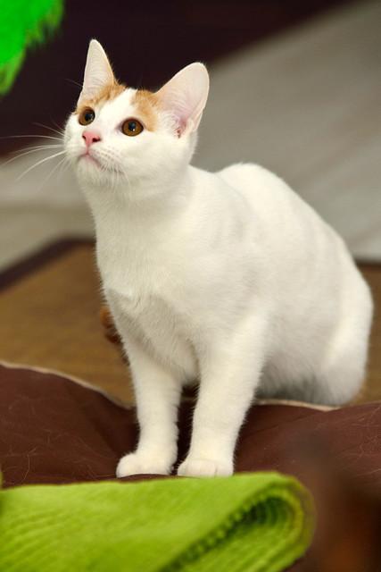 Gary, gatito blanco y naranja cruce Van Turco esterilizado muy activo nacido en Julio´16, en adopción. Valencia. ADOPTADO. 31333201610_98a2a7cfd9_z