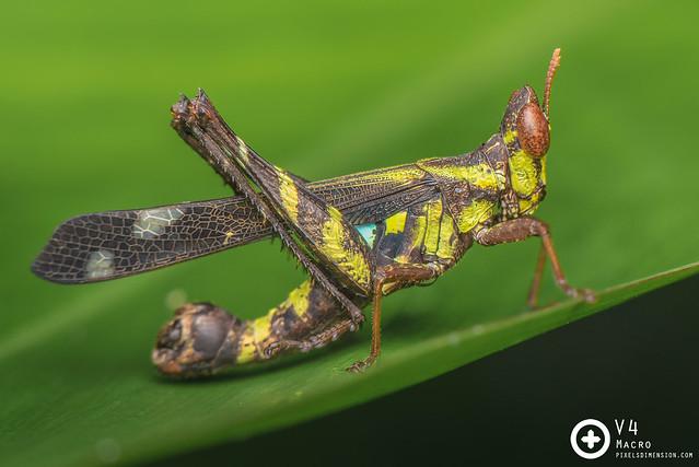 Monkey Grasshopper (Erianthus cf. versicolor)