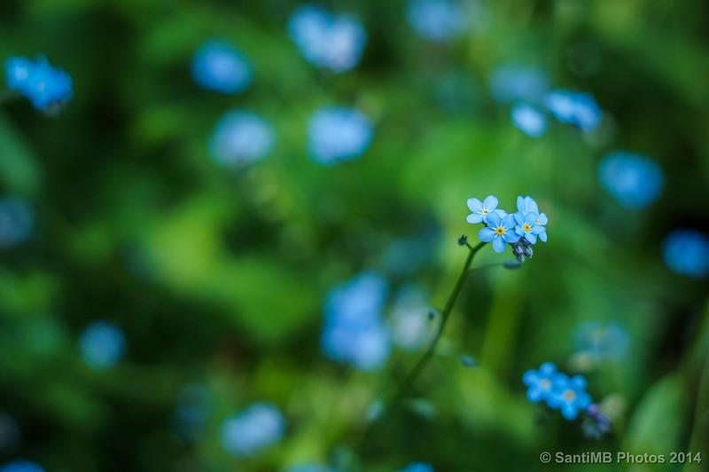 Florecillas azules