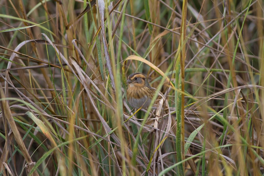 Interior Nelson's Sparrow
