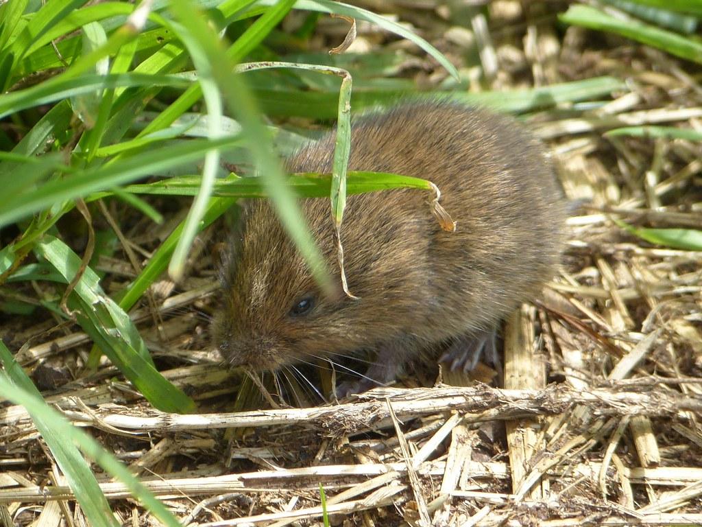 Baby Field Baby Field Vole
