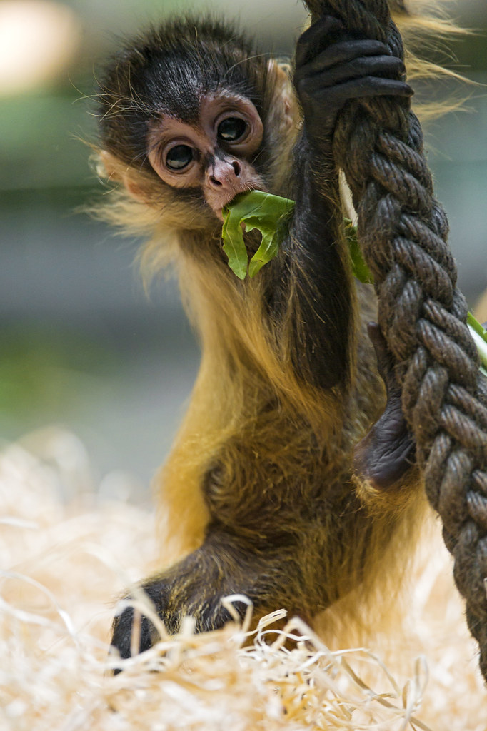 Baby spider monkey playing with the rope | And a second ...