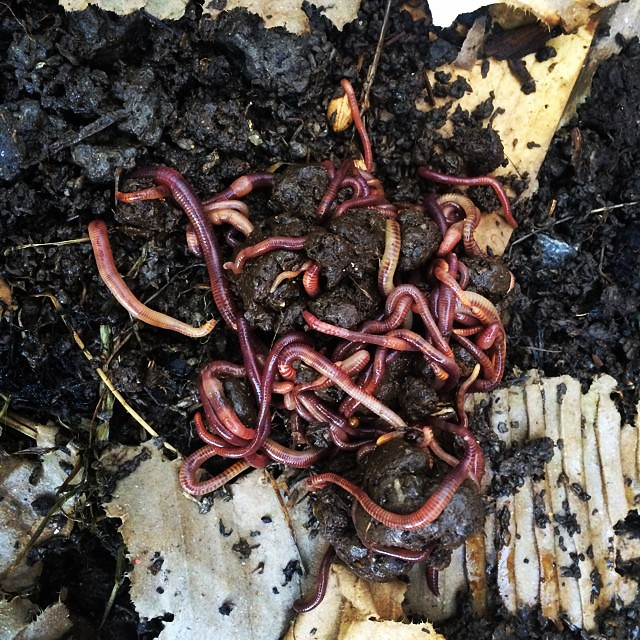 how to keep dendrobaena worms