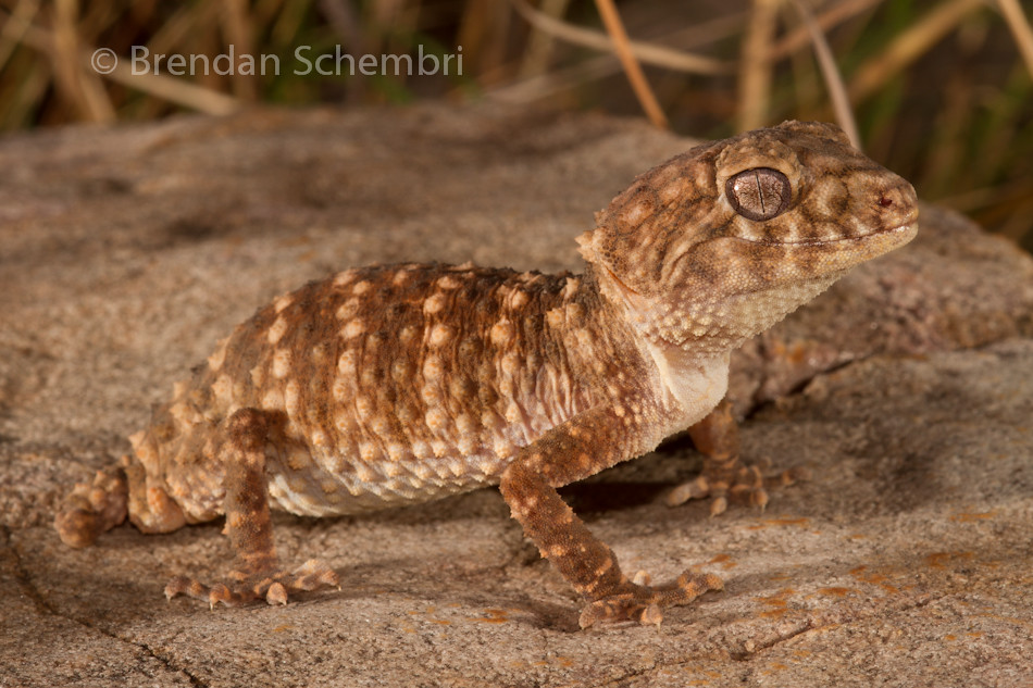 Northern Rough Knob Tailed Gecko Nephrurus Sheai Flickr
