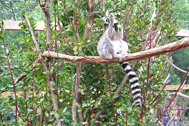 lemur London zoo