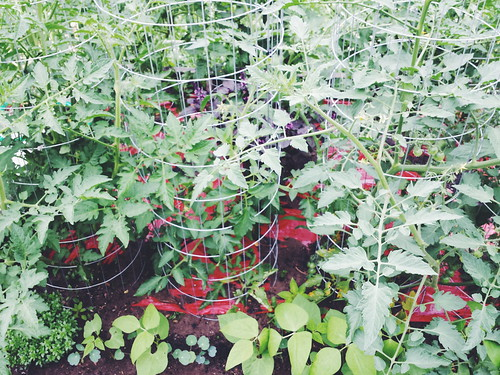 tomatoes, purple basil, dragon tongue bush beans, king theodore nasturtium