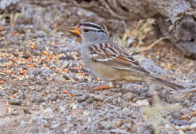 White-crowned-Sparrow-2-7D2-102316