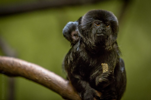 Goeldi's Monkeys - Parent and Child