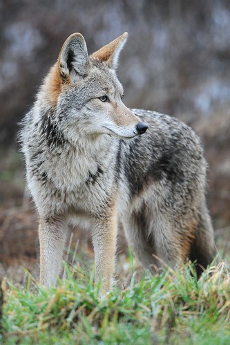 Historically a species of the North American plains, coyotes now occupy much of the Southeast. (Photo by Rebecca Richardson, courtesy of Wikimedia.org.)