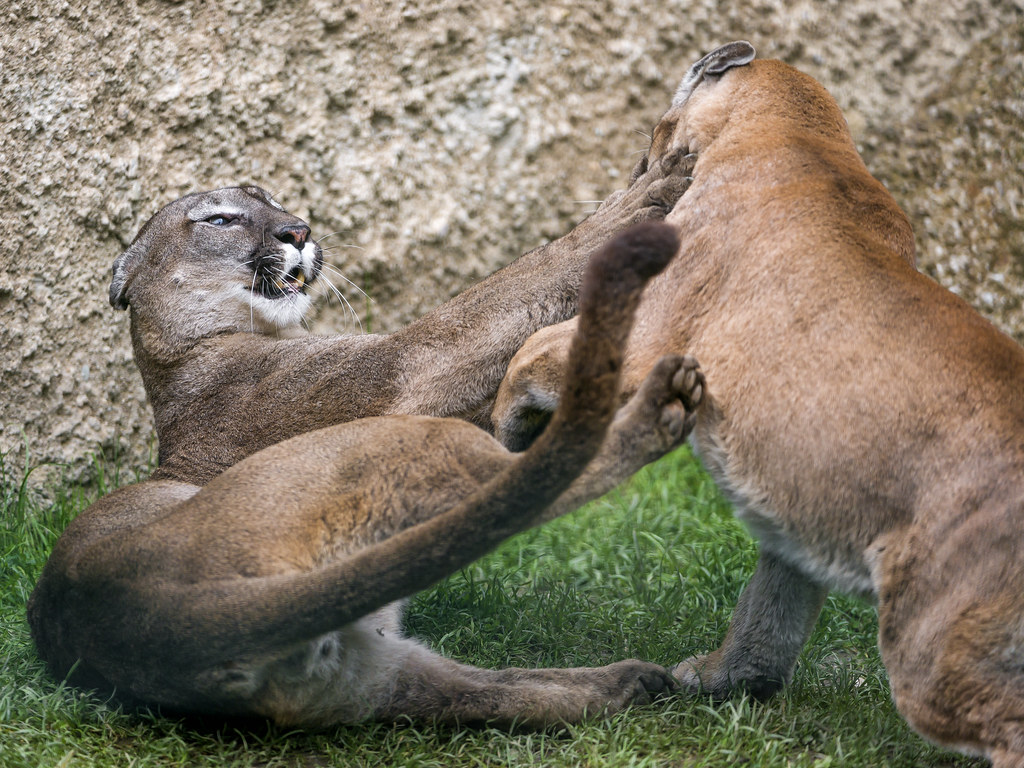 cougar masculin asse