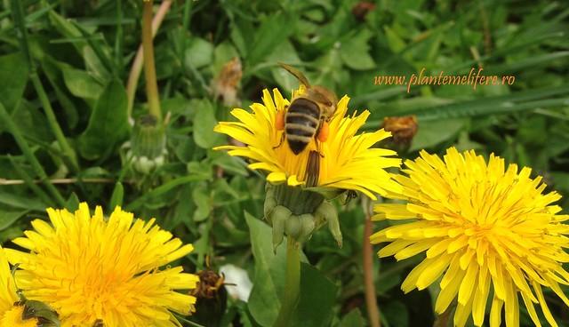 polen papadie