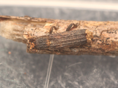 コブスジサビカミキリ