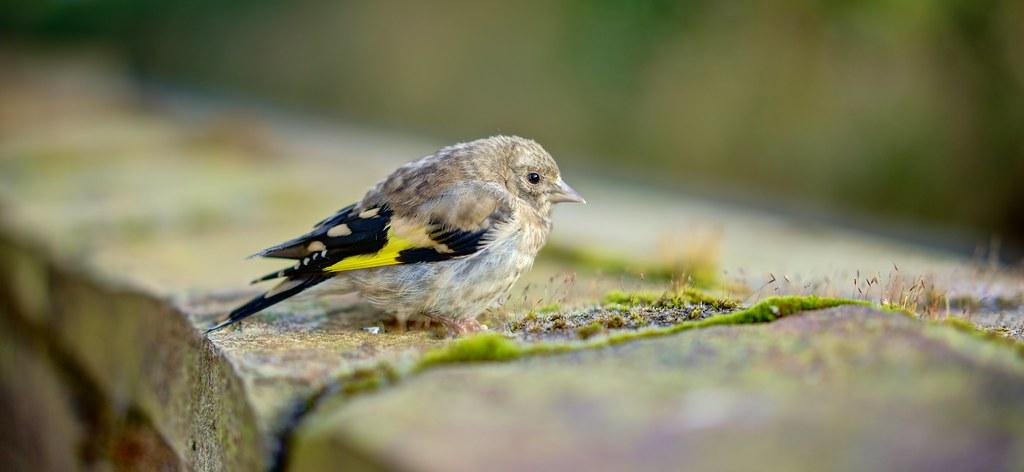 Baby Goldfinch - Down The Lane, Polveithan Farm. (EXPLORE ...