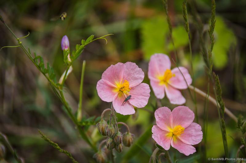 Un sírfido volando sobre unas flores.