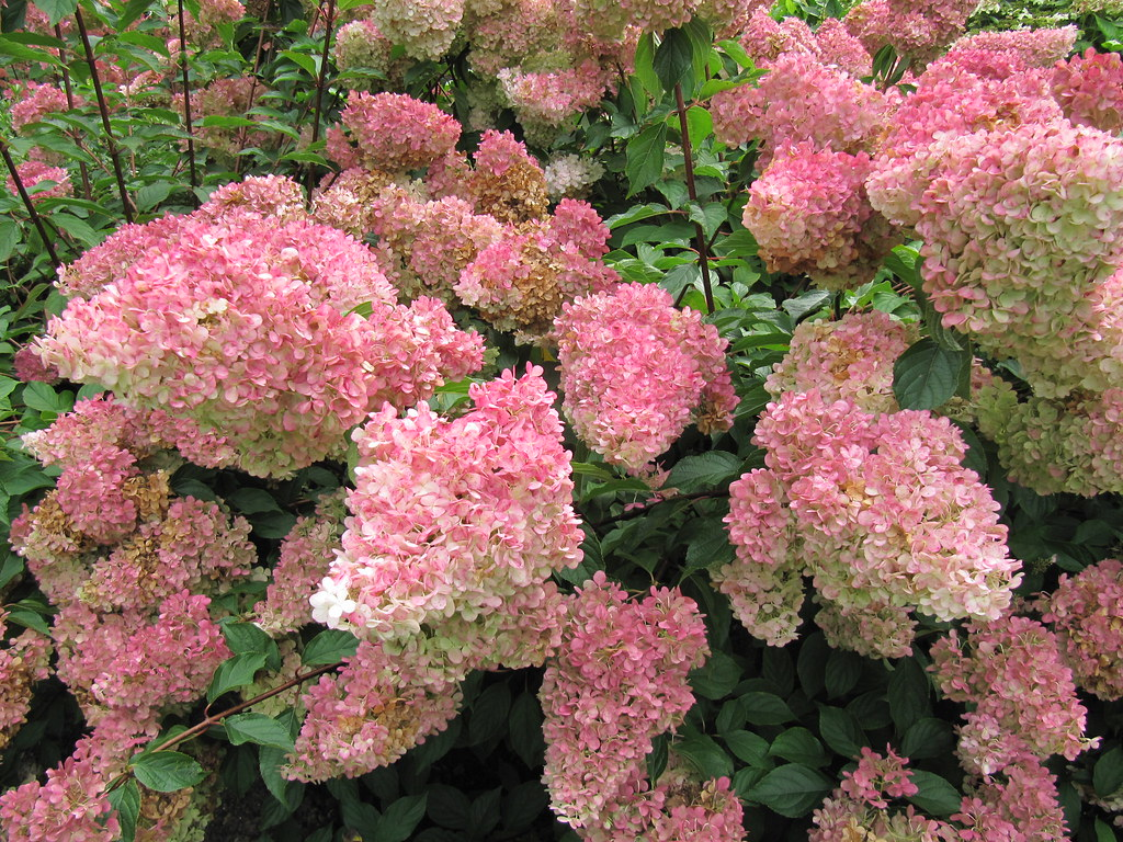 hydrangea paniculata 39 vanille fraise 39 rhs wisley gardens i flickr. Black Bedroom Furniture Sets. Home Design Ideas
