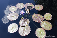 Nymphaea William McLane by Florida Aquatic Nurseries