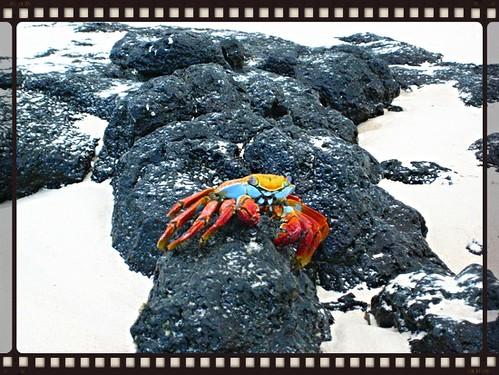 long leg crab