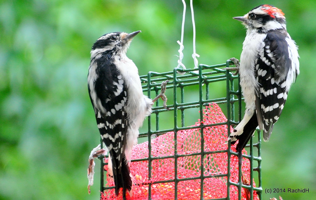 DSC_0338 | Juveniles; Male and Female ~ Downy Woodpecker ~ P… | Flickr
